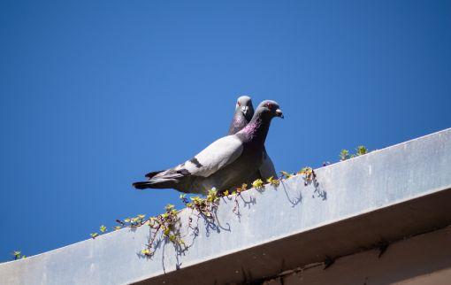 Larclean Saúde Ambiental - Pombos