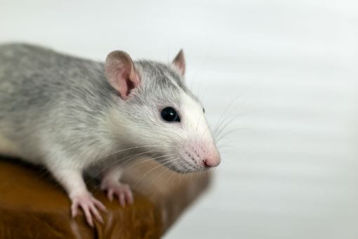 Larclean Saúde Ambiental - Roedores ou Ratos