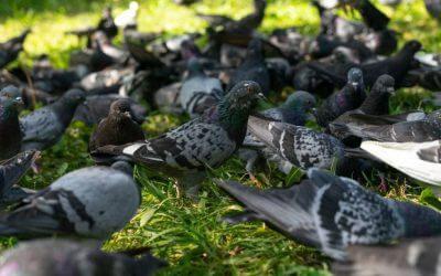 Especialista alerta sobre controle da população de pombos em áreas residenciais